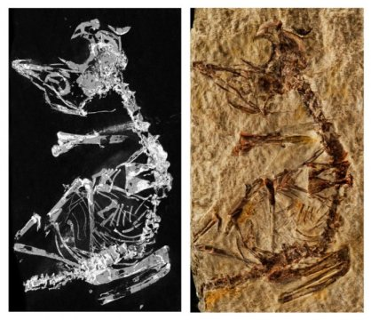 127 million year old baby bird fossil sheds light on avian evolution