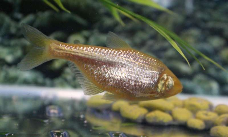 Blind cavefish evolved insulin resistance to keep from starving