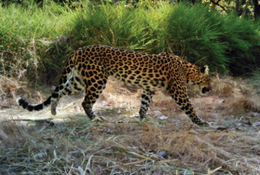 Cambodias last leopards on brink of extinction
