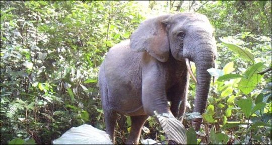 Elephant declines imperil Africas forests