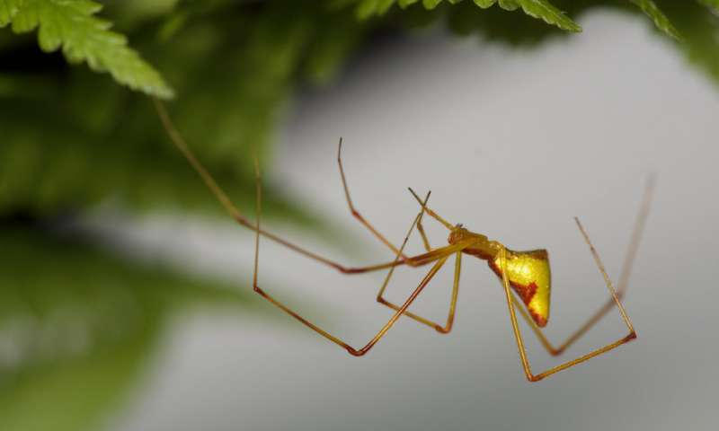 How brightly colored spiders evolved on Hawaii again and again... and again