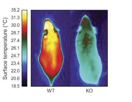 Molecule that gives energy burning brown fat its identity could lead to drugs for obesity