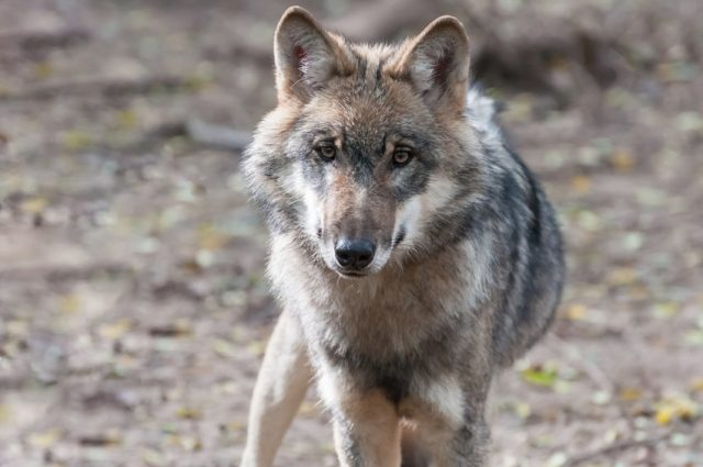 New genetic research shows extent of cross breeding between wild wolves and domestic dogs