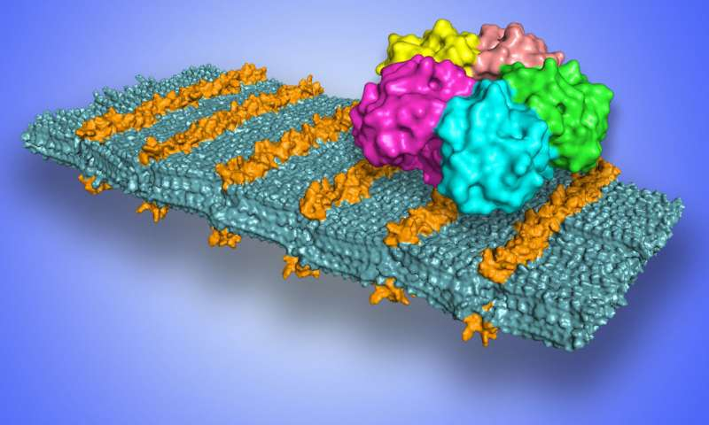 Scientists develop sugar coated nanosheets to selectively target pathogens