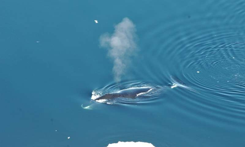 Bowhead whales the jazz musicians of the Arctic sing many different songs