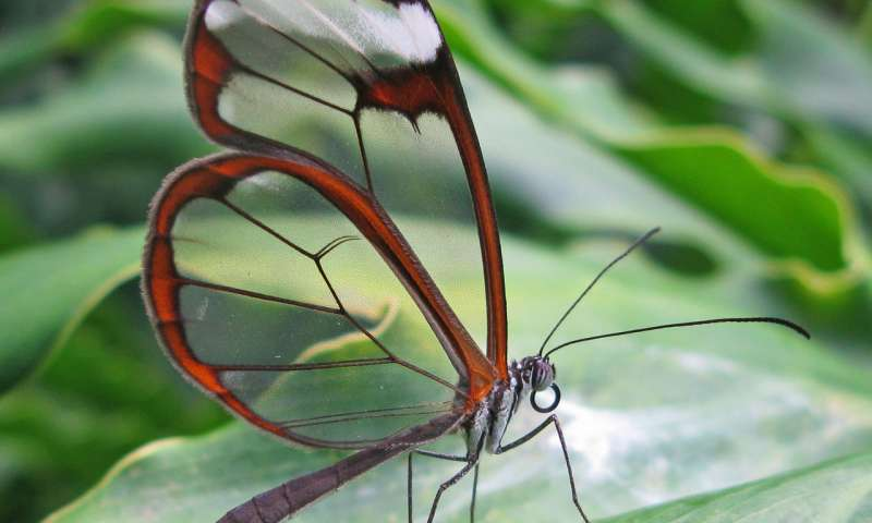 Butterfly wings inspire light manipulating surface for medical implants