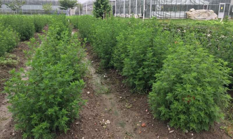 Engineered Chinese shrub produces high levels of antimalarial compound