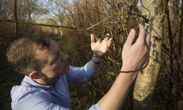 Just one more ash dieback spore could push European ash trees to the brink
