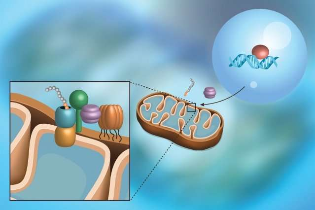 Scientists discover a pathway that monitors a protein import into mitochondria
