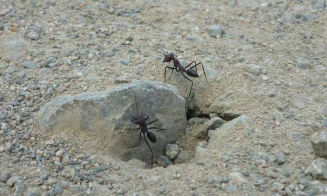 Surprising findings reveal desert ants orient to the geomagnetic field