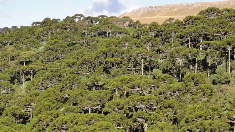 Critically endangered South American forests were man made