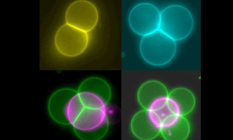Mini tractor beams help arrange artificial cells into tissue structures