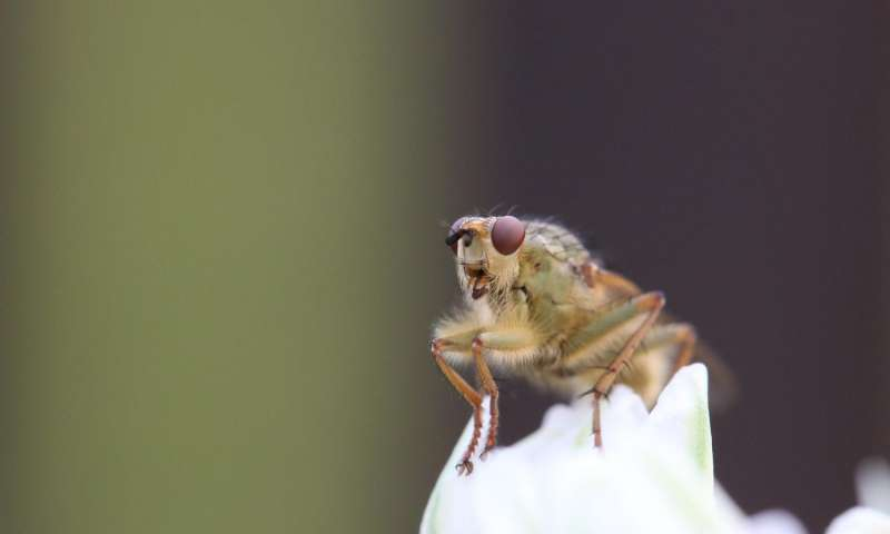 Mystery solved The bacterial protein that kills male fruit flies