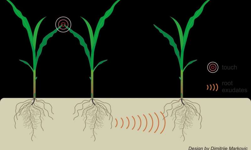 Plants can use underground communication to find out when neighbors are stressed