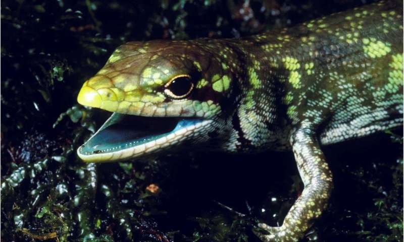 The mystery of lime green lizard blood