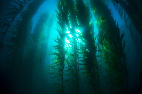 Weeds will take over from kelp in high CO2 oceans