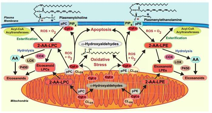 What happens to plasmalogens the phospholipids nobody likes to think about