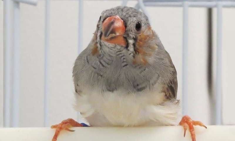 Zebra finches social experiences alter their genomic DNA changing ability to learn