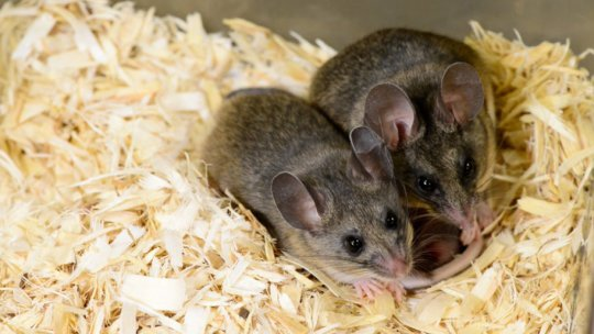 BPA can induce multigenerational effects on ability to communicate mouse study shows