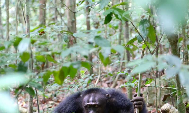 Chimpanzees start using a new tool use gesture during an alpha male take over