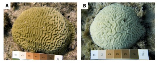 Local interventions boost corals resilience to bleaching