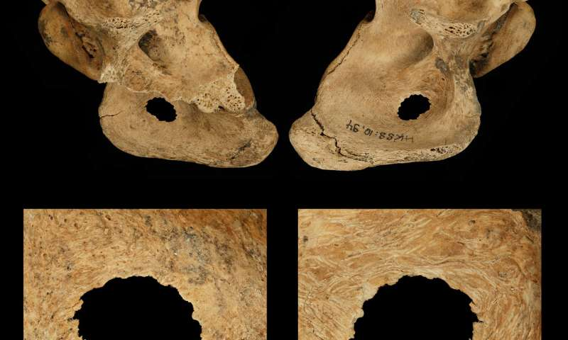 Neanderthals hunted in bands and speared prey up close study