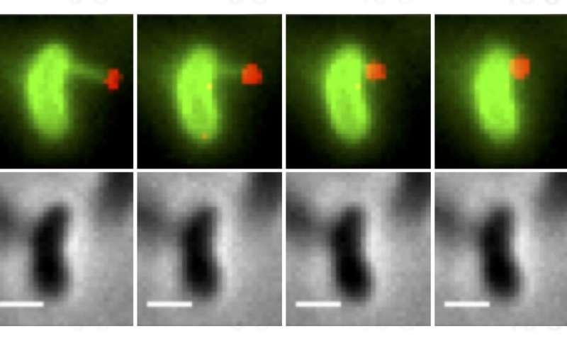 Scientists watch bacteria harpoon DNA to speed their evolution