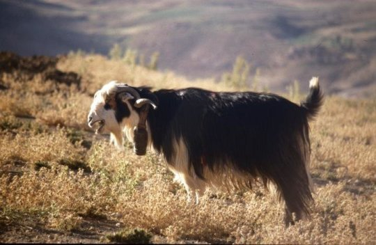 Ancient genome analyses reveal mosaic pattern of goat domestication thousands of years ago