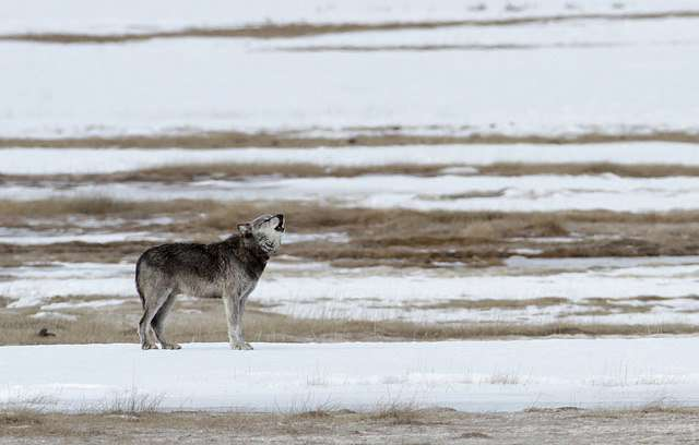Aspen is making a comeback in and around Yellowstone National Park because of predators