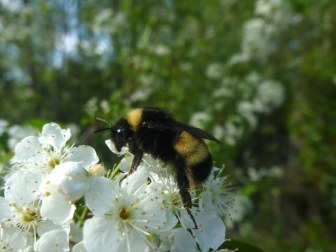 Inbreeding and disease are factors in decline of yellow banded bumblebee