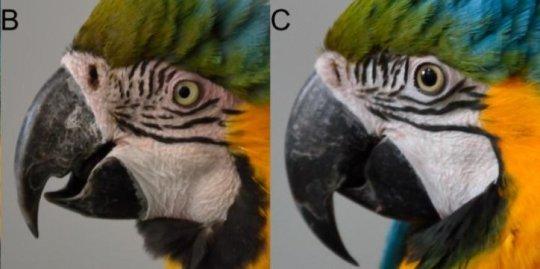Macaws may communicate visually with blushing ruffled feathers