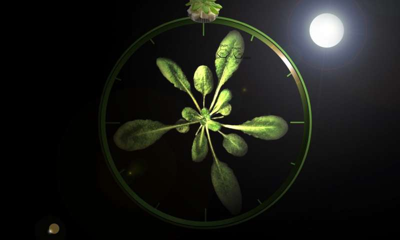 Plants can tell the time using sugars