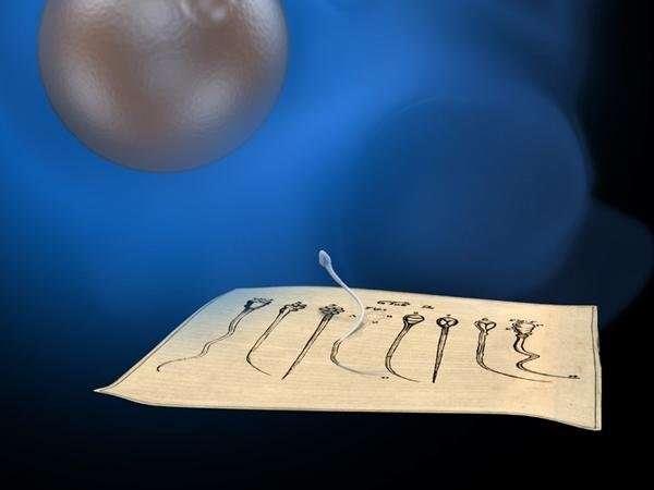 Scientists find elusive molecule that helps sperm find egg