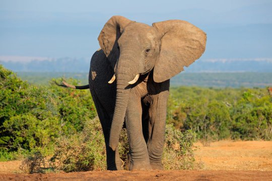 Zombie gene protects against cancer in elephants
