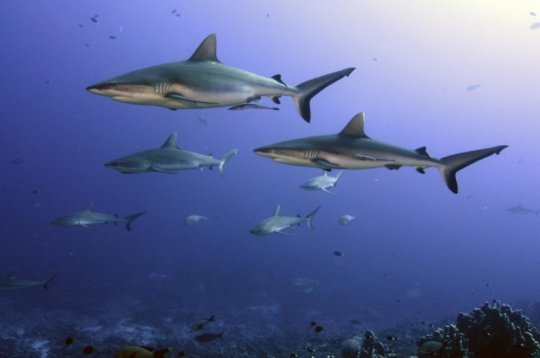 Appetite for shark fin soup serious risk to threatened sharks