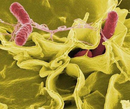 Breakthrough in designing a better Salmonella vaccine