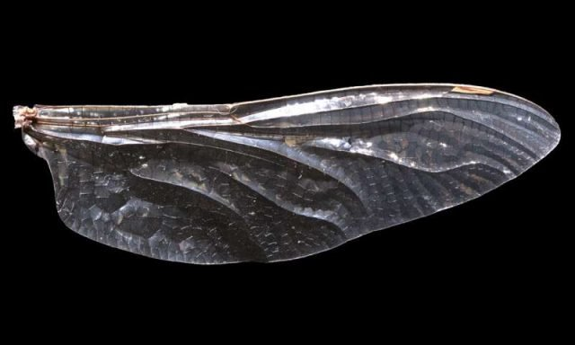 How dragonfly wings get their patterns