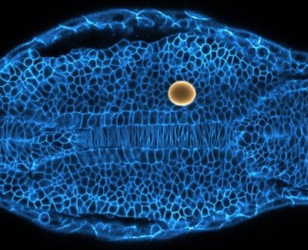How tissues and organs are sculpted during embryogenesis