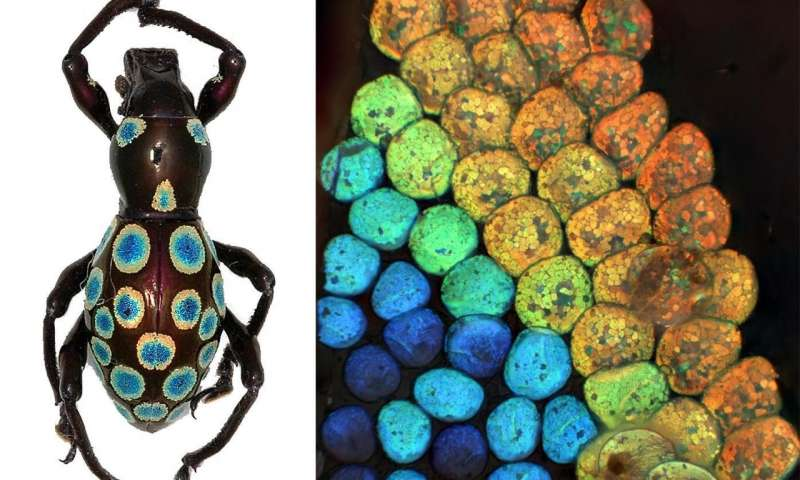 New colour generation mechanism discovered in rainbow weevil