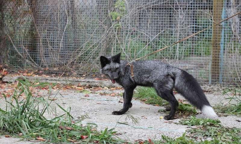 Silver fox study reveals genetic clues to social behavior