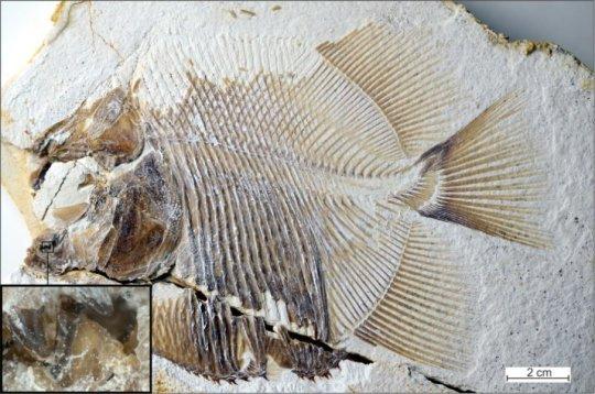 150 million year old piranha like specimen is earliest known flesh eating fish