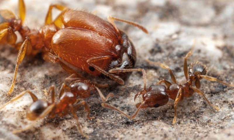 Ants regulate growth of seemingly useless organ to make huge soldiers