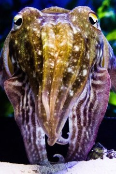 Biological invisibility cloak Elucidating cuttlefish camouflage
