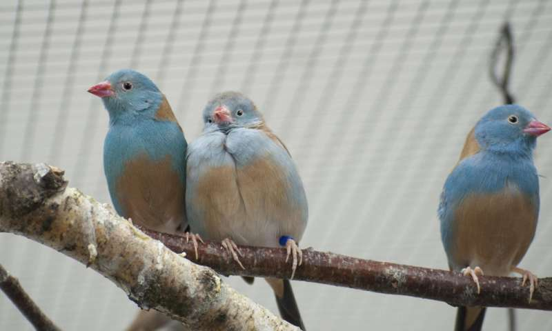 Couples showing off Songbirds are more passionate in front of an audience
