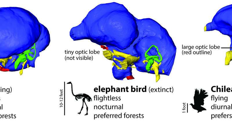 Giant flightless birds were nocturnal and possibly blind
