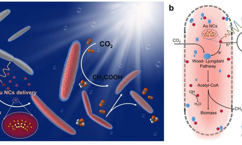 Harvesting solar fuels through a bacteriums unusual appetite for gold