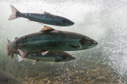 Land locked Atlantic salmon also use magnetic field to navigate