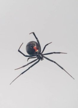 Mystery of how black widow spiders create steel strength silk webs further unravelled