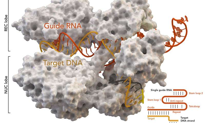 New CRISPR tool opens up more of the genome for editing