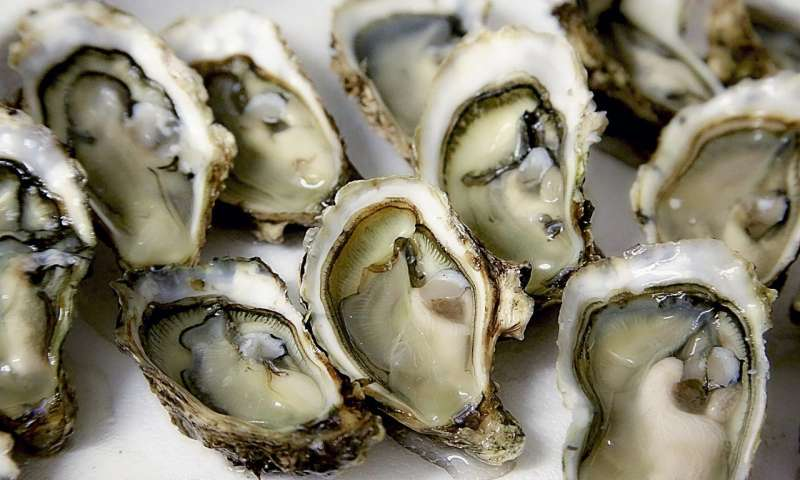 Oysters at risk from changing climate 1